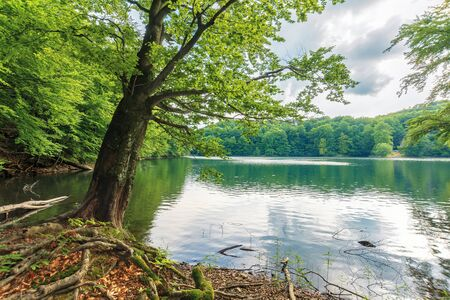 beech tree on the shore of a lake. beautiful nature scenery among primeval forest of vihorlat, slovakia. sunny afternoon weather in summer. Stock Photo