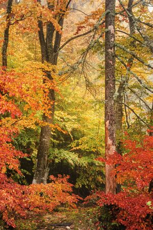 colorful scenery of a beech forest in autumn. vivid background of wet foliage after the rain Stock Photo