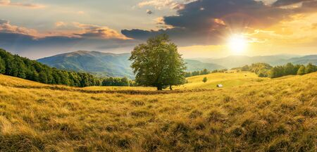beech tree on the meadow in mountains at sunset. forest around the slope. wonderful summer scenery of carpathian countryside. mountain ridge in the distance. cloudy afternoon Stock Photo