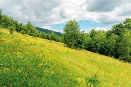 grassy forest glade on the hill in summer. wild flowers and herbs among the tall grass.  high deciduous trees around. nature scenery with cloudy sky