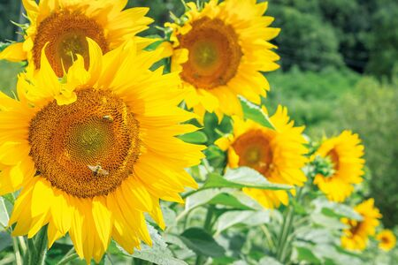 sunflowers in the field. bees gathering pollen. beautiful bright summer nature background. blurry background of forest.