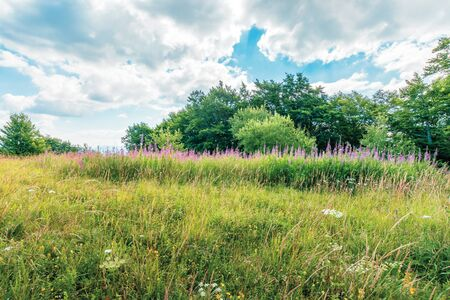 bunch of blooming fireweed on the meadow. bright flowers on a sunny day in mountains. blue sky with clouds. plant also called willowherb or Chamaenerion angustifolium. Stock Photo