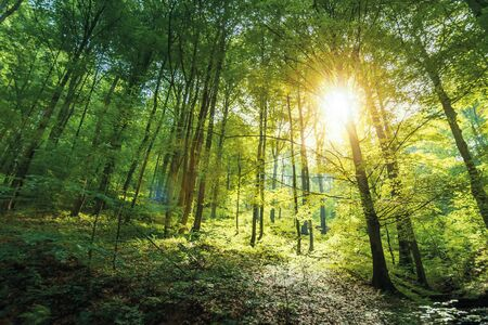 sunlight in primeval beech forest. beautiful summer nature background of vihorlat national park in slovakia Stock Photo