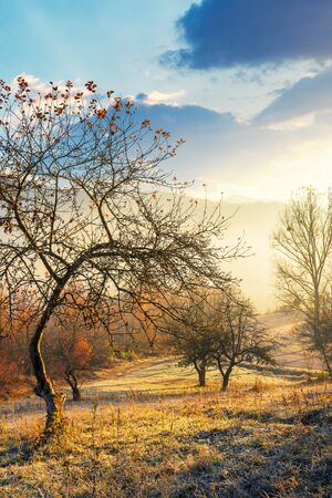 apple orchard on the hillside in autumn. wonderful countryside background with sunlight coming through the fog. bright sunny atmosphere in mountains
