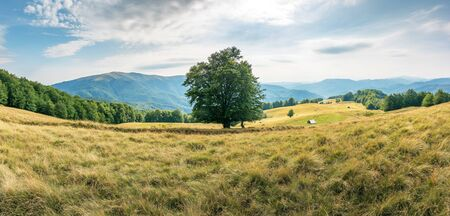 big beech tree on the grassy meadow in mountains. forest around the slope. wonderful summer scenery of carpathian countryside. mountain ridge in the distance. cloudy afternoon