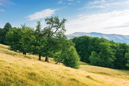 beech forest on the grassy meadow in mountains. beautiful summer scenery with weathered grass in august. lots of clouds on an evening blue sky above the Apetska mountain. Stock Photo