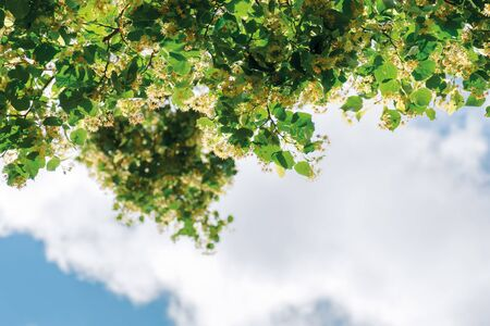 twigs of linden tree in blossom. beautiful nature scenery in summertime. sky with clouds blurred in the background