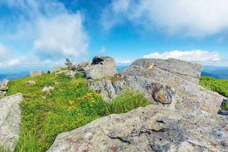 summer nature scene on top of a hill. yellow dandelions among rocks on a grassy slope. sunny weather with clouds on the blue sky. peaceful forenoon
