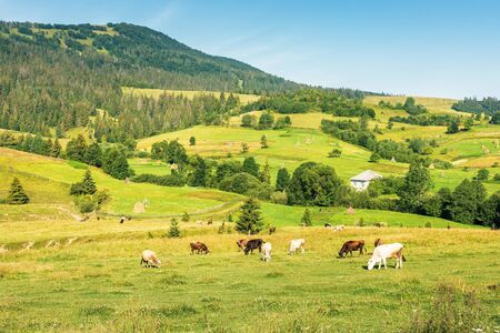 cattle grazing meadow in mountains. rural fields and village on the hill in the distance. wonderful summer morning of ukrainian carpathian countryside. fine weather with clear blue sky