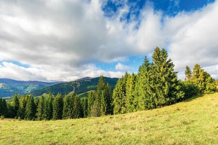 spruce forest on the hillside. beautiful landscape with borzhava mountain range. sunny september weather with dynamic cloudscape above the ridge Stock Photo
