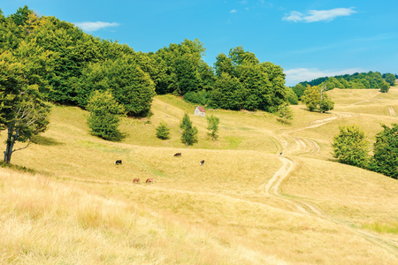 country road winding uphill through meadow. cow herd grazing weathered grass on pastures. primeval beech forest on the hill. beautiful rural scenery in summertime with bright blue sky