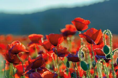 poppy flowers field bathing in the sunlight. beautiful summer background Stock Photo