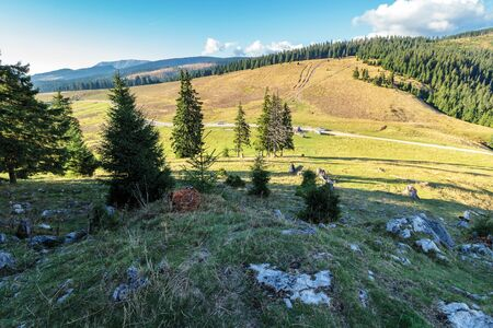 evening scenery of apuseni national park. mountain landscape with spruce forest on grassy hills with stones. warm autumn weather with clouds on the sky