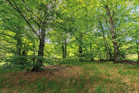 inside the beech forest on a sunny summer day. trees in lush green foliage. beautiful nature background Stock Photo