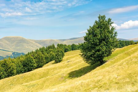 one tree on the meadow in high mountain landscape. beech forest around the hill. ridge in the distance. sunny afternoon weather in summer. location in the ukrainian Carpathians, svydovets range
