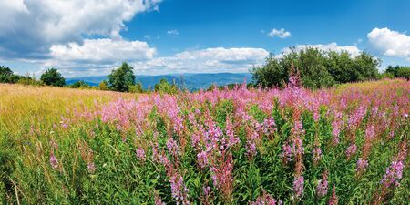 panorama with bunch of blooming fireweed on the meadow. bright flowers on a sunny day in mountains. blue sky with clouds. plant also called willowherb or Chamaenerion angustifolium.