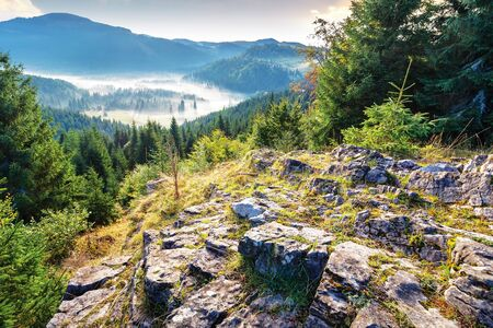 thick glowing fog among spruce forest down in the valley. wonderful nature background. view from the top of a rocky hill. beautiful apuseni mountain scenery of romania in autumn