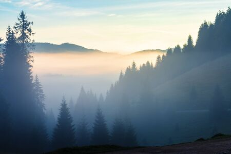 glowing cloud above the forested valley at sunrise. thick fog among the spruce forest on hills. magical weather with blue sky. mystic autumn scenery in mountains