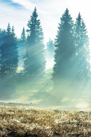 sun rays breaking through the fog in spruce forest. beautiful nature scenery. magical weather in autumn at sunrise Stock Photo