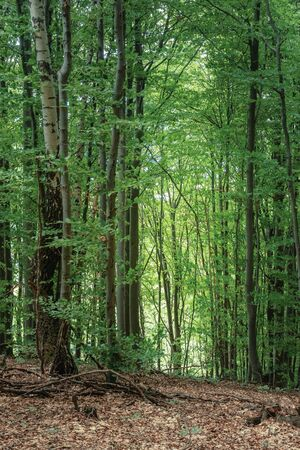 ancient beech forest in summertime. green lush foliage. beautiful nature scenery