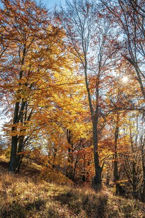 autumn forest in golden foliage on a sunny day. tall beech trees. bright and dry weather. beautiful autumn nature background