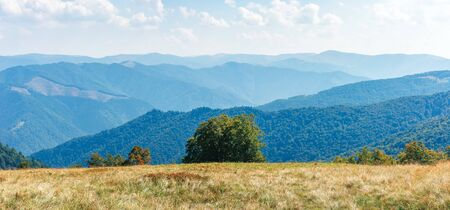 panorama of a mountain landscape. beech tree on the edge of a meadow in weathered grass. svydovets ridge in the distance. sunny weather with clouds on the bright sky in early autumn, september.