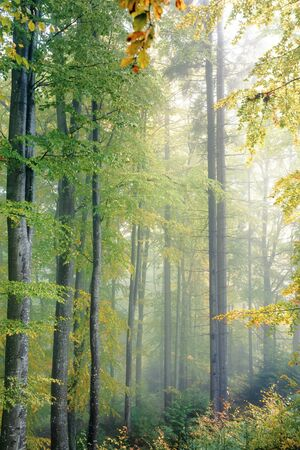 ancient beech forest on foggy autumn morning. yellow lush foliage. beautiful nature scenery
