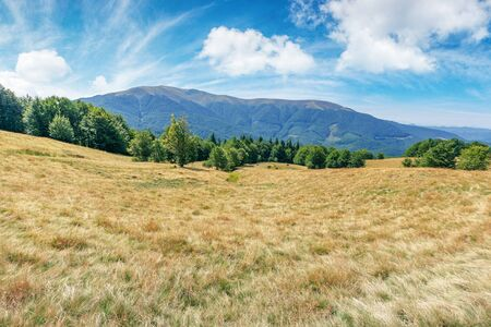 mountain meadow in weathered grass. beautiful landscape on a sunny day in late summer. beech forest in the distance at the foot of the ridge. wonderful weather with fluffy clouds on the sky