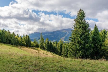 spruce forest in mountains on a sunny day. warm weather at the beginning of autumn season. borzhava ridge in the distance. grassy meadows. dynamic cloud formations on the sky. conventional carpathians