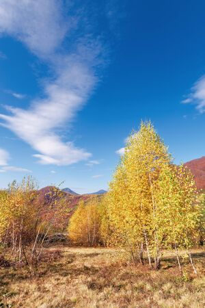 birch trees in yellow foliage. vivid nature scenery of carpathian mountains. clouds on the blue sky. uzhanian national park, transcarpathia, ukraine