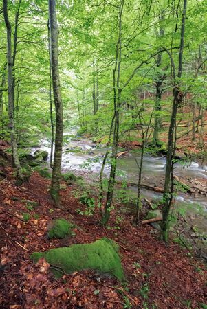 rapid mountain river in beech forest. beautiful nature scenery in springtime. mossy boulders on the shore among fallen foliage Stock Photo