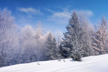 forest in hoarfrost on a snow covered meadow. beautiful chilly winter scenery in the morning. sunny weather with blue sky