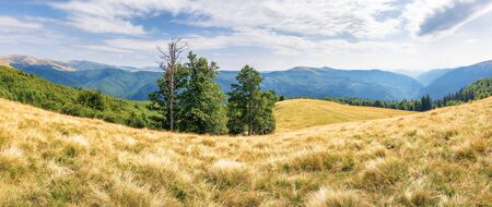 beautiful panorama of mountain landscape. beech trees on the meadow with weathered grass. svydovets ridge in the distance. clouds on a blue sky
