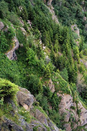 herd of sheep climbing among the rocks and trees on a steep slope. fagaras mountain romania