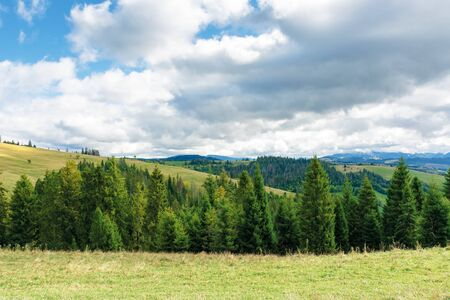 spruce trees on the meadow i mountains. beautiful scenery on a cloudy september day. high clouds on the blue sky Stock Photo