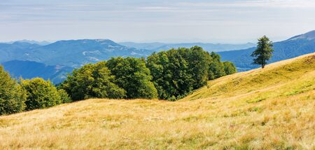 panorama of a grassy alpine meadow in august. beautiful nature scenery near the beech forest in mountains. sky with thin high clouds above the horizon
