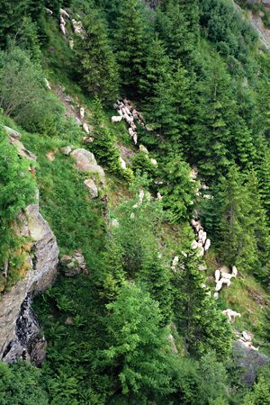 herd of sheep on the forested slope of fagaras. steep hills with rocks and spruce trees. beautiful background Stock Photo