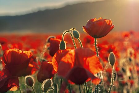 red poppies in the field in evening light. beautiful nature background with flowers. hill blurred out in the distance. sunny weather. shallow depth of field Stock Photo