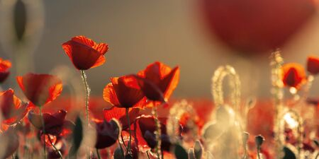 red poppies in the field in evening light. beautiful nature panorama with flowers. sunny weather. shallow depth of field