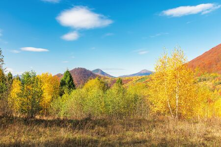 beautiful autumn scenery in mountains. birch tree in yellow foliage. beech forest on the distant hill in red color. fluffy clouds on the blue sky. sunny weather