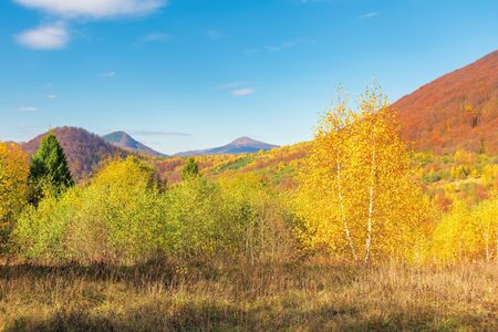 beautiful autumn scenery in mountains. birch tree in yellow foliage. beech forest on the distant hill in red color. fluffy clouds on the blue sky. sunny weather Stock Photo - 127959458