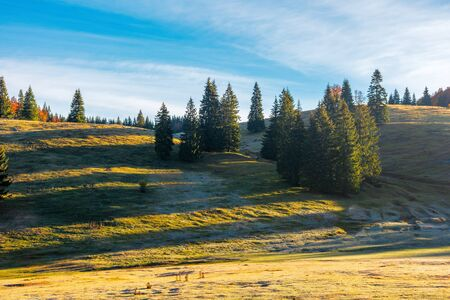 spruce trees on the hill at sunrise. beautiful autumn nature scenery of apuseni natural park. hazy weather with bright blue sky and clouds. grass in melting hoarfrost