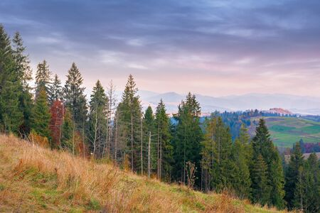 spruce forest on the hill at dusk. beautiful autumn nature scenery of carpathian mountains. hazy weather with clouds on the  sky. kamianka ridge in the distance