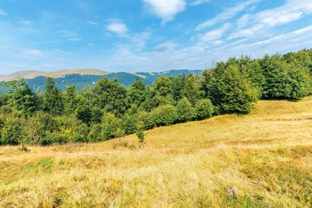 wonderful summer landscape of carpathians. primeval beech forest on the grassy hill. svydovets mountain ridge in the distance. sunny weather with clouds on the blue sky