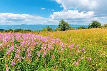 willow herb purple flowers on the meadow. beautiful nature scenery up high in the mountains. trees on the edge of a hill. sunny weather with fluffy clouds on the sblue sky
