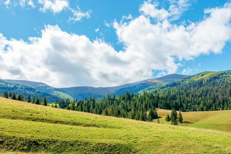 wonderful autumn afternoon in mountains. spruce trees on the rolling hills. sunny weather with puffy cloudscape on the blue sky. carpathian countryside landscape of borzhava ridge Stock Photo