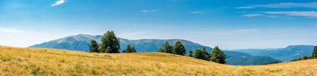 beautiful panoramic landscape in august. row of beech trees on the meadow in weathered grass. mountain range in the distance. sunny weather with blue sky at high noon. transcarpathia ukraine summer