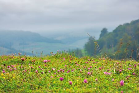 grassy meadow with clover flowers. lovely countryside rural background. gloomy morning with overcast sky Stock Photo