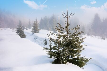 spruce trees on a snowy hill. foggy weather with clouds on the blue sky. bright morning. beautiful winter nature scenery