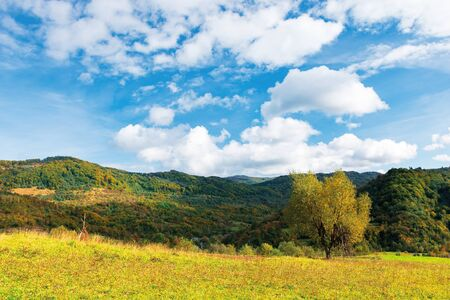 tree in yellow foliage on the meadow. beautiful countryside landscape on a sunny day with fluffy clouds on the sky. carpathian rural area in autumn Stock Photo - 128801023